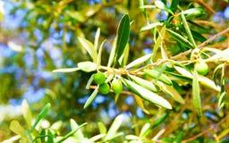 Detalhe de ramo de oliveira perto de Ekklisia Agios Ioannis Chapel, Skopelos, Grécia imagens de stock royalty free