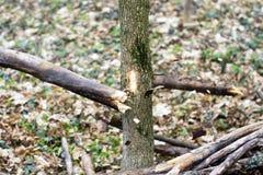 Detalhe de ramo quebrado para a destruição a da tempestade Fotografia de Stock