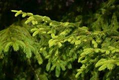 Detalhe de ramo spruce fresco Fotografia de Stock Royalty Free