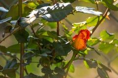 Detalhe de Rosa Imagens de Stock