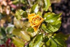 Detalhe de rosas de florescência Fotos de Stock Royalty Free