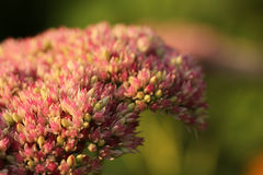 Detalhe de Rose Sedum em um fundo verde Fotografia de Stock Royalty Free