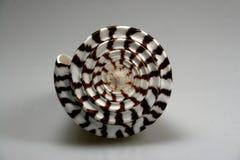 Detalhe de shell do mar Imagens de Stock Royalty Free