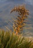 Detalhe de Speargrass Fotografia de Stock Royalty Free