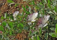 Detalhe de spinosa selvagem do Capparis do arbusto da alcaparra Fotos de Stock