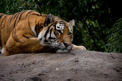 Detalhe de tigre que encontra-se na pedra e que olha fixamente profundamente Imagem de Stock Royalty Free