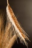 Detalhe de trigo Imagem de Stock