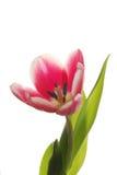 Detalhe de tulip Fotos de Stock
