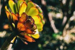 Detalhe de um arboreum do aeonium foto de stock royalty free