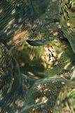 Detalhe de um envoltório de moluscos gigantes Fluted. Imagens de Stock