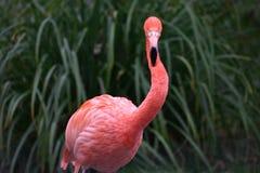 Detalhe de um flamingo vermelho foto de stock royalty free