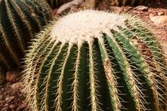 Detalhe de um grusonii bonito do echinocactus do cacto de tambor dourado no jardim botânico Fotografia de Stock