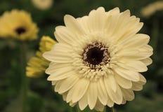 Detalhe de um macro branco da flor do gerber imagem de stock royalty free