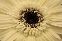Detalhe de um macro branco da flor do gerber foto de stock