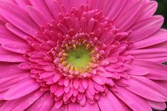 Detalhe de um macro cor-de-rosa da flor do gerbera imagens de stock royalty free