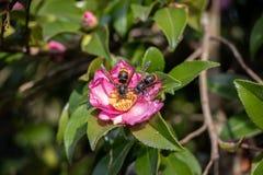 Detalhe de um par de vespas predatórios asiáticas do vespa-velutina da vespa que recolhem o pólen de uma flor imagem de stock