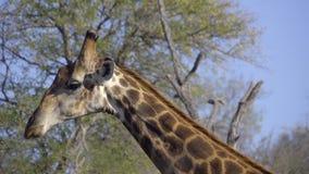 Detalhe de um pescoço do girafa do touro vídeos de arquivo