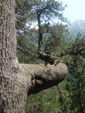 Detalhe de um ramo do pinho o mais velho da Bulgária no parque nacional do Pirin Foto de Stock