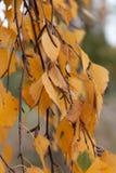 Detalhe de um ramo do vidoeiro imagem de stock royalty free