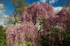 Detalhe de uma árvore de cereja de Higan na flor completa Fotos de Stock Royalty Free