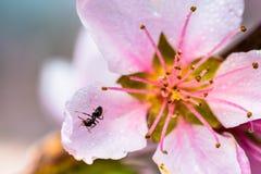 Detalhe de uma árvore de florescência bonita em uma mola imagem de stock royalty free