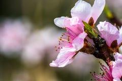 Detalhe de uma árvore de florescência bonita em uma mola imagens de stock royalty free