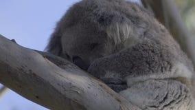 Detalhe de uma coala distorcido do sono video estoque