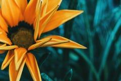 Detalhe de uma flor amarela de rigens do gazania imagens de stock