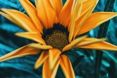 Detalhe de uma flor amarela de rigens do gazania imagens de stock royalty free