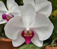Detalhe de uma flor branca da orquídea Foto de Stock