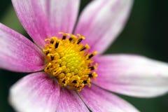Detalhe de uma flor do cosmos do jardim Imagem de Stock