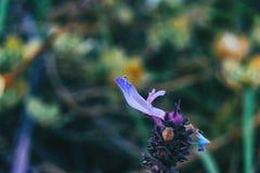 Detalhe de uma flor roxa de officinalis do salvia imagem de stock royalty free