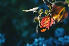Detalhe de uma folha gotejante vermelha imagens de stock royalty free