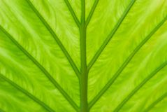 Detalhe de uma folha de uma planta do alocasia, de suas máscaras verdes fotografia de stock