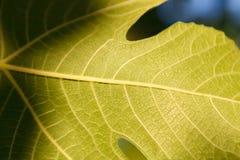 Detalhe de uma folha verde imagens de stock