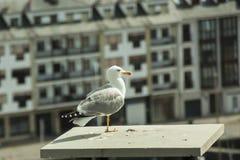 Detalhe de uma gaivota empoleirada no telhado nas Astúrias fotos de stock royalty free