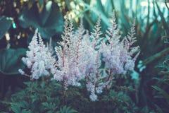 Detalhe de uma planta de florescência da urze no jardim Imagem de Stock
