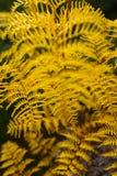 Detalhe de uma samambaia amarela Imagens de Stock Royalty Free