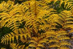 Detalhe de uma samambaia amarela Foto de Stock