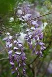 Detalhe de videira roxa da glicínia na flor completa fotografia de stock