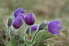 Detalhe de Violet Pasqueflower Imagem de Stock Royalty Free