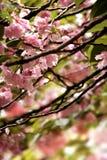 Detalhe desobstruído da flor de cereja fotografia de stock