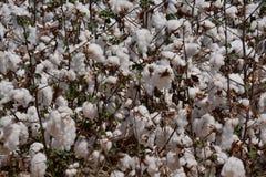 Detalhe do campo do algodão fotografia de stock royalty free