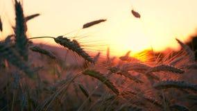 Detalhe do campo de grão de Burley durante o por do sol 4K filme