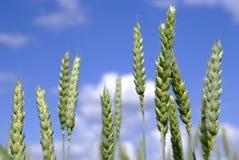 Detalhe do campo de milho Imagem de Stock Royalty Free