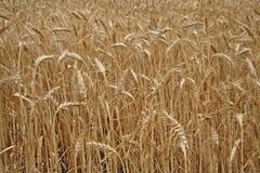 Detalhe do campo de milho antes da colheita Fotos de Stock Royalty Free