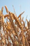 Detalhe do campo de trigo Imagens de Stock