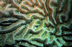 Detalhe do coral de cérebro Foto de Stock Royalty Free
