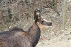 Detalhe do ` da cabra-montesa Foto de Stock