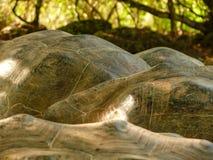 Detalhe do escudo de uma tartaruga de Galápagos fotografia de stock